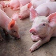 Vytápění objektů pro chov hospodářských zvířat