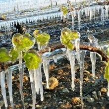 Ochrana viníc pred jarnými mrazmi.