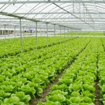 Soil heating in greenhouses or heating of livestock buildings - electric heating cables Ecofloor and radiant heating panels Ecosun have proved their worth in agriculture as well.